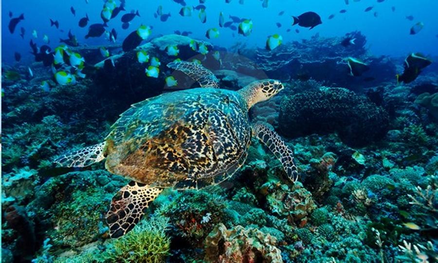 Penyu di dalam Laut Pulau Derawan