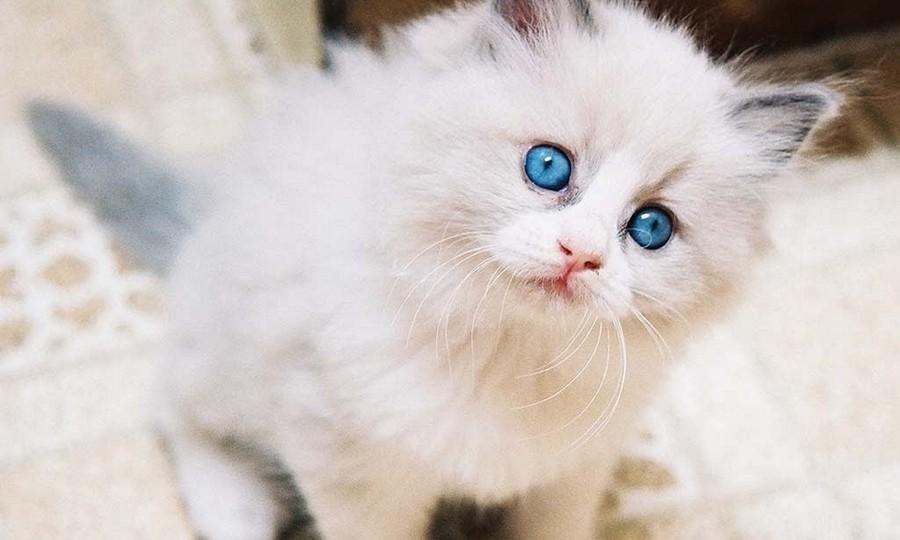 Anak Kucing Anggora Putih Turkish Asli Bermata Biru