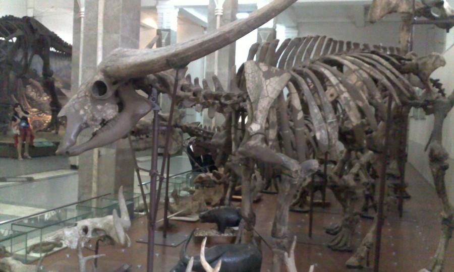Kerangka Kerbau di Museum Geologi Bandung