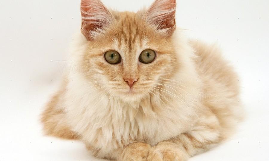 Kucing Anggora Turki Red Silver
