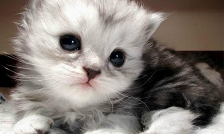 Kucing Anggora Aslinya