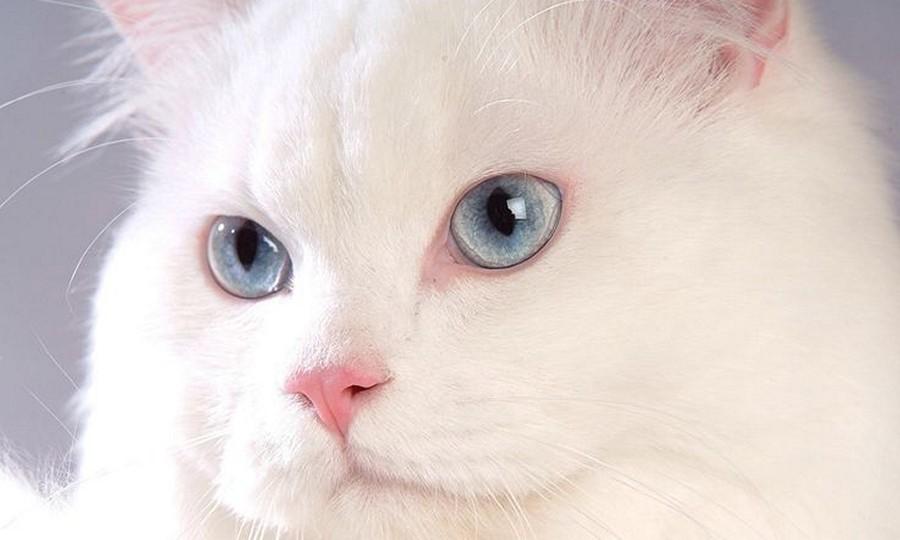 Hidung Kucing Anggora Asli Turki