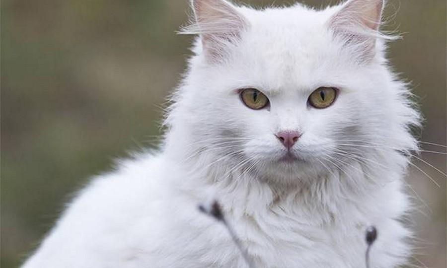 Kucing Anggora Bulu Putih Mahal