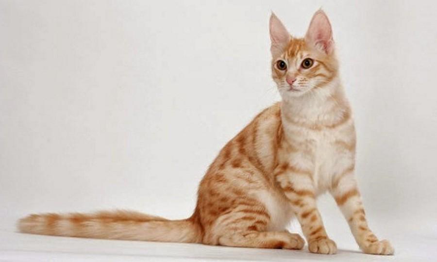 Kucing Anggora Lucu Imut Bulu Red