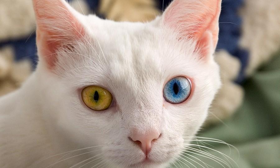 Kucing Anggora Matanya Beda