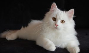 Melihat Mata Kucing Anggora